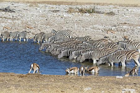 africa namibia etosha national park zebras
