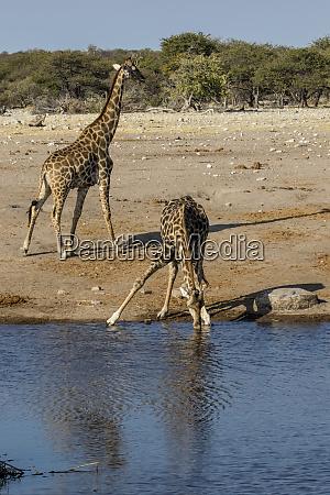 africa namibia etosha national park two