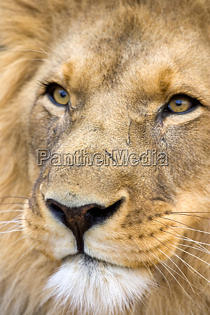 namibia africa male lion panthera leo
