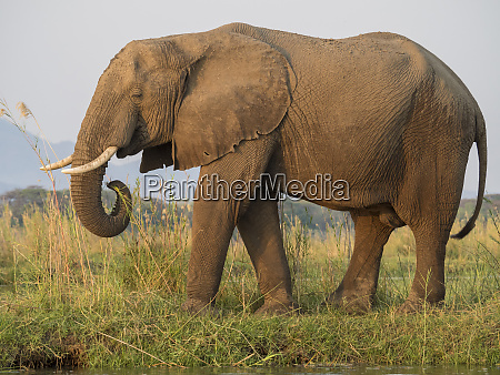africa zambia side view of elephant