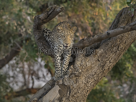 africa zambia leopard in tree