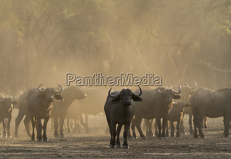 africa zambia herd of cape buffaloes