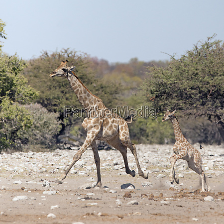 etosha national park namibia africa two