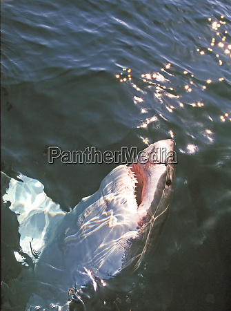 great white shark carcharodon carcharias south
