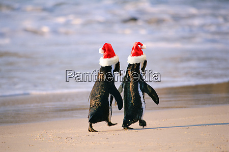 african penguins spheniscus demersus walking hand