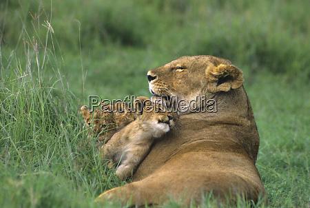 tanzania ngorongoro crater african lion mother