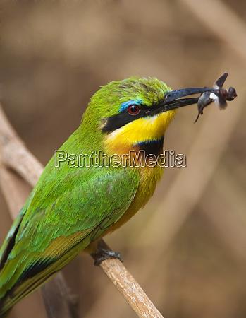 tanzania lake manyara national park bee
