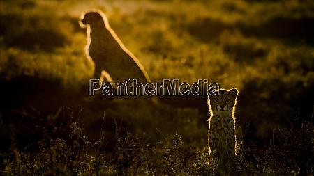 africa tanzania ngorongoro conservation area adult