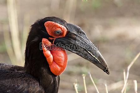 africa tanzania southern ground hornbill bucorvus
