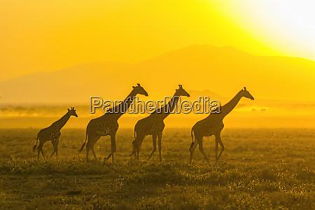 africa tanzania serengeti five giraffes masai