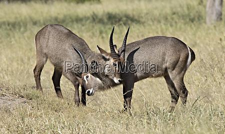 africa tanzania serengeti two young male