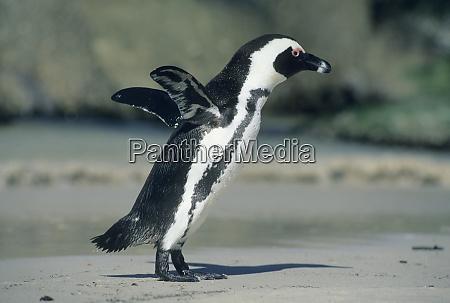 african penguin spheniscus demersus coming ashore