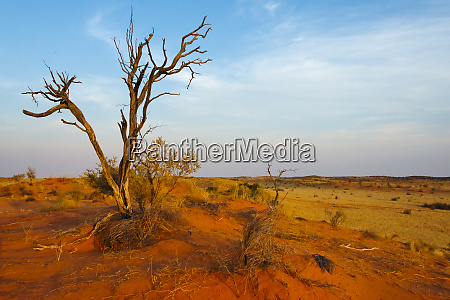 dead tree on red sand desert