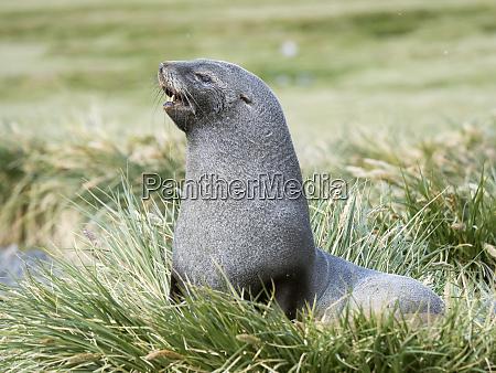 antarctic fur seal arctocephalus gazella bull