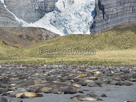 southern elephant seal mirounga leonina beach
