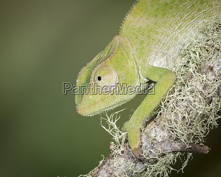 baby graceful chameleon chameleon gracilis controlled