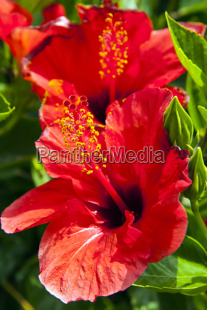 hibiscus tunisia north africa