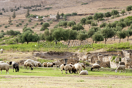 sheep in front of temple of