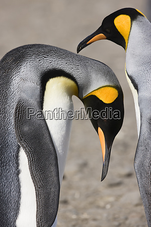 antarctica south georgia salisbury plain king