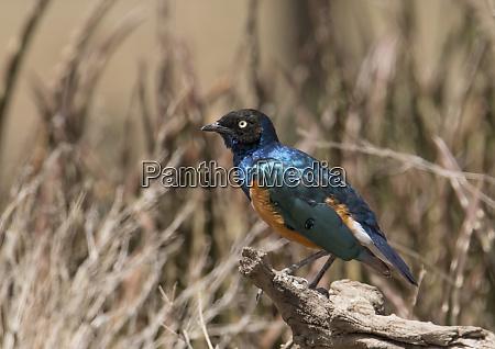 africa tanzania ngorongoro conservation area superb