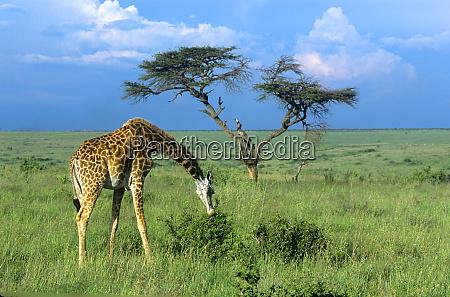 masai giraffe giraffa camelopardalis tippelskirchi grazing