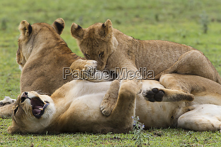 lion cub lies on top of