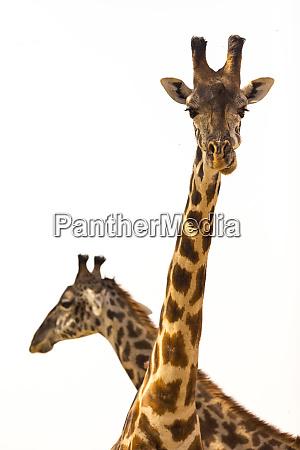 pair of giraffe giraffa camelopardalis in