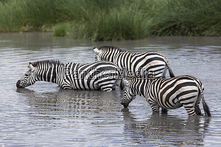three zebras drinking from a water