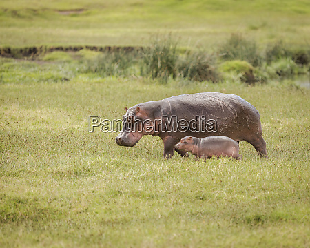 mother hippo and her calf walking