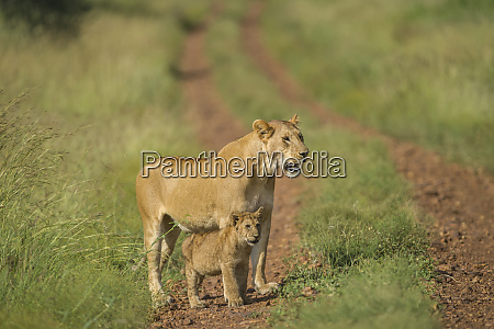 africa lioness and cub