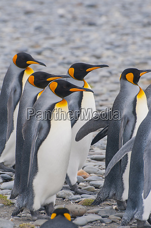 south georgia stromness king penguins aptenodytes