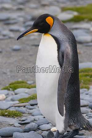 south georgia stromness king penguin aptenodytes