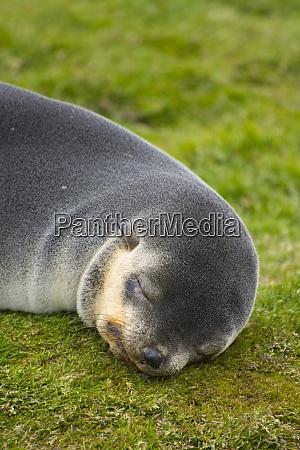 south georgia stromness antarctic fur seal