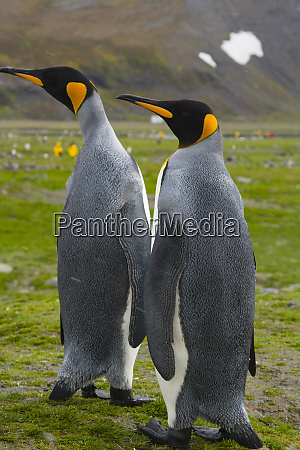 south georgia saint andrews king penguin