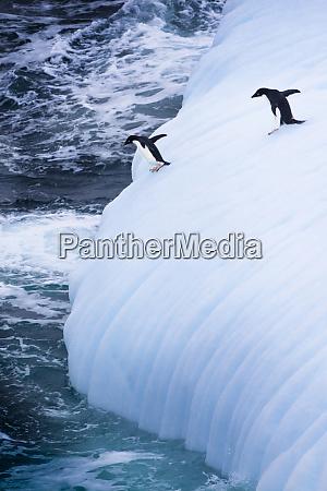 antarctica adelie penguins jump of an