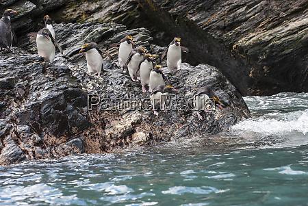 antarctica penguin macaroni