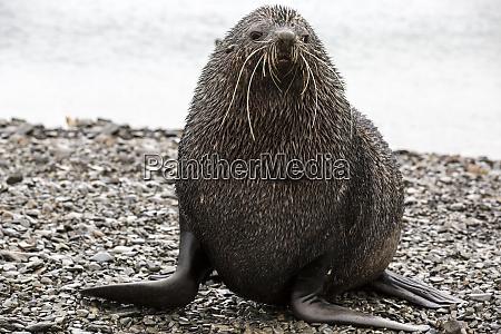 fur seal fortuna bay south georgia