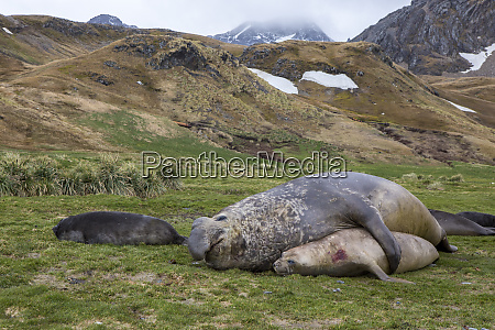 male and female elephant seals grytviken