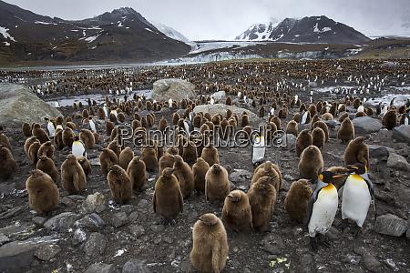 king penguin rookery st andrews bay