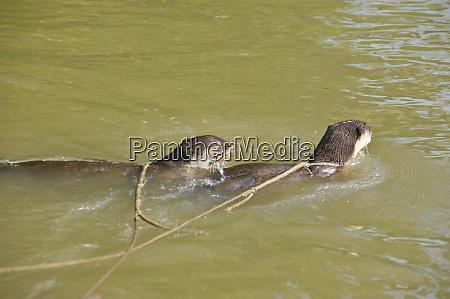 otter fishing lutra lutra bangladesh asia