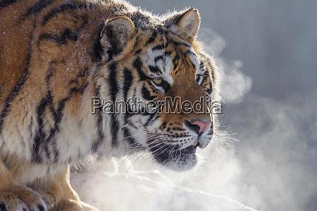china harbin siberian tiger park siberian