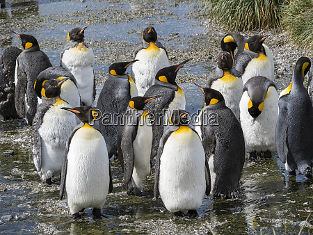 king, penguin, (aptenodytes, patagonicus), on, the - 27326413