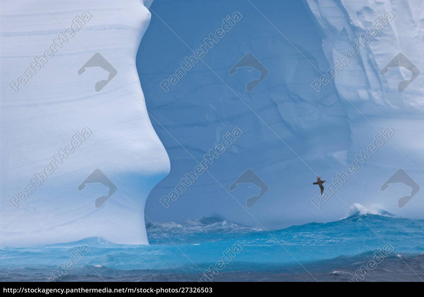 south, atlantic, , south, georgia, island., albatross - 27326503