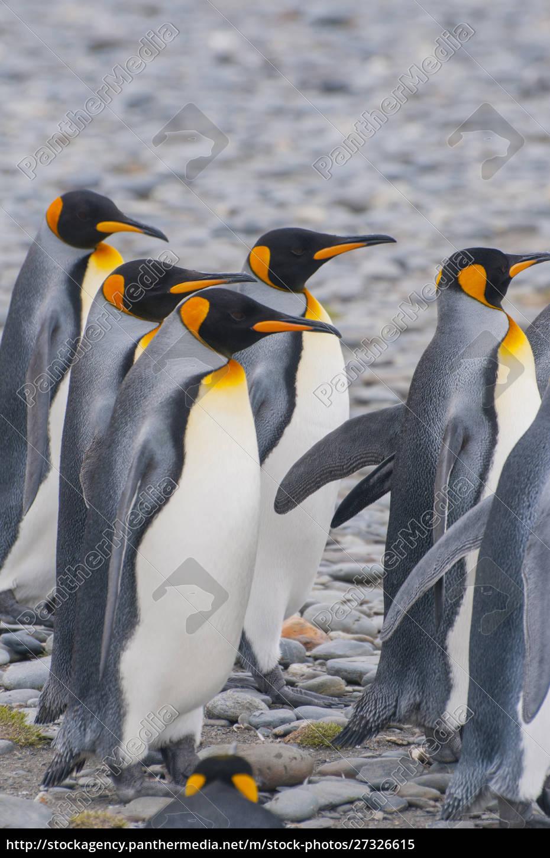 south, georgia., stromness., king, penguins, (aptenodytes - 27326615