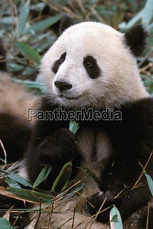 asia china chengdu giant panda sanctuary