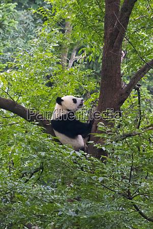 panda on tree panda reserve yaan