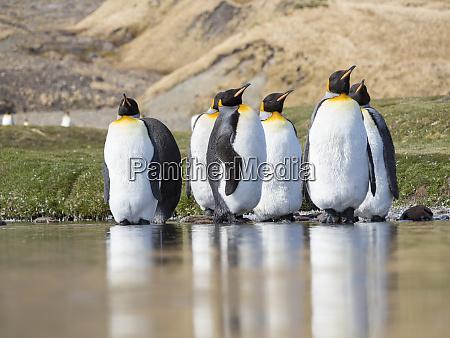 king penguin aptenodytes patagonicus on the