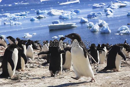 adelie penguin devil island antarctica