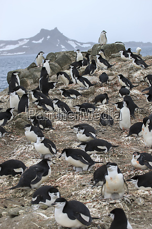 chinstrap rookery whalers bay deception island