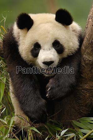 giant panda ailuropoda melanoleuca family ailuropodidae